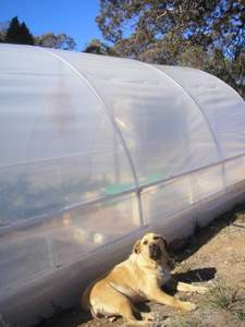 Indy supervising polytunnel progress