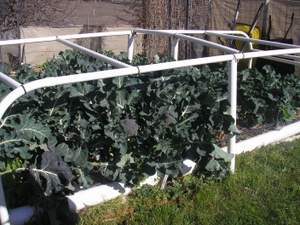 broccoli growing under portable greenhouse