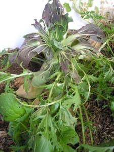cabbage white butterfly damage