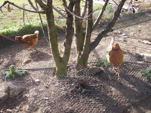 chooks scratching around fruit trees