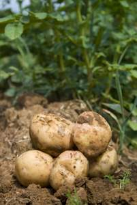 how to grow potatoes in vegetable garden