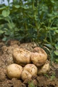 how to grow potatoes in vegetable garden