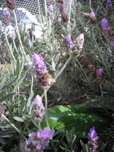 herb garden plans lavender