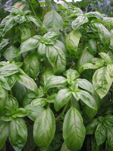 herbal sleep aids basil