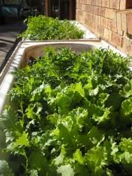 greens growing in bathtubs