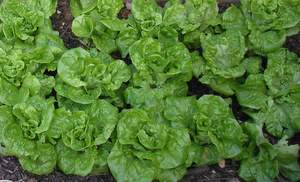 butter lettuce vegetable container garden