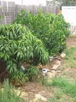 dwarf fruit trees along fenceline