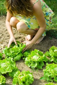 woman picking lettuces