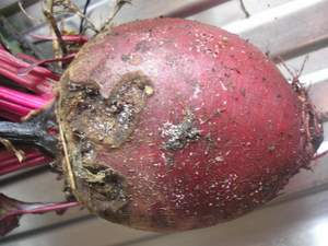 bugs on beets