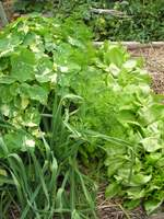 raised bed vegetable garden containing nasturtiums garlic carrots and lettuce