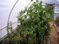 snowpeas growing in polytunnel